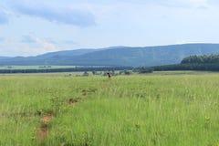 Lös impala på en bana till och med högväxt gräs i Mlilwane djurlivfristad i Swaziland, sydliga Afrika, safari arkivfoto