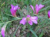 Lös iris Arkivfoton