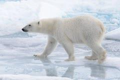 Lös isbjörn som går i vatten på packeis royaltyfri fotografi
