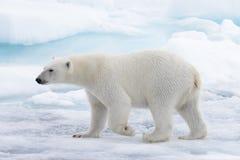 Lös isbjörn som går i vatten på packeis i det arktiska havet arkivfoto
