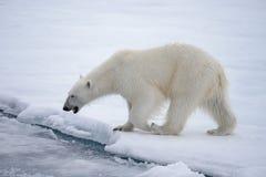 Lös isbjörn som går i vatten på packeis i det arktiska havet arkivfoton