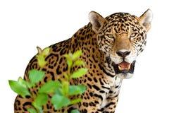 Lös jaguar Royaltyfri Bild