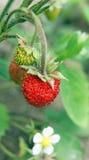 Lös jordgubbe Royaltyfri Fotografi