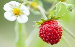 Lös jordgubbe Royaltyfri Bild