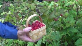 Lös jordgubbe för hacka i sommarskog stock video