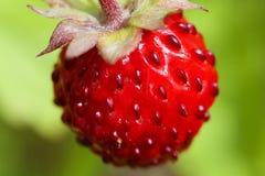 Lös jordgubbe - Fragariavesca Fotografering för Bildbyråer