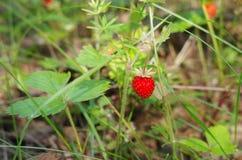 Lös jordgubbe i skogen Royaltyfria Foton