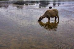 Lös kalv för vattenbuffel Fotografering för Bildbyråer