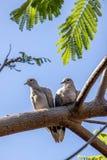 Lös kanariefågelö för duva två Arkivfoto