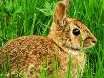 Lös kanin Royaltyfria Foton