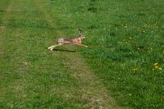 Lös kanin kör över gras fotografering för bildbyråer
