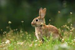 Lös kanin på äng Arkivfoton
