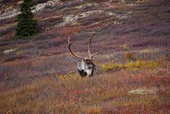 Lös karibu i Alaska fotografering för bildbyråer