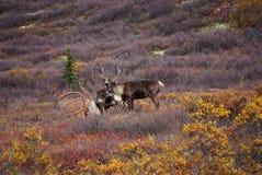 Lös karibu i Alaska arkivbild
