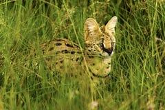 Lös katt för härlig Serval Royaltyfria Foton