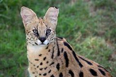 Lös katt för Serval Fotografering för Bildbyråer