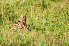 Lös katt för Serval i savannahen av Serengeti Arkivbilder