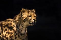 Lös katt på skärm Antagligen Oncilla royaltyfria bilder