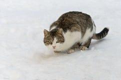 Lös katt under vinterjakten Arkivfoto