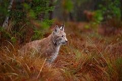 Lös kattlodjur i naturskoglivsmiljön Eurasianlodjur i skogen, pinjeskoglodjur som ligger på den gröna mossastenen Gullig lyn royaltyfria bilder