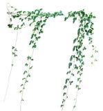 Lös klättringvinranka, Cayratia trifolia & x28; Linn & x29; Domin Isolerat på arkivbild