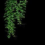 Lös klättringvinranka, Cayratia trifolia Linn Domin lianväxt royaltyfria foton