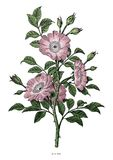 Lös konst för gem för tappning för roshandteckning som isoleras på vit backgr royaltyfri illustrationer