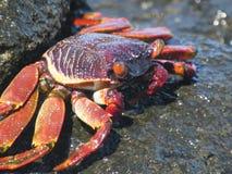 Lös krabba Royaltyfri Bild