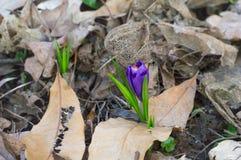 Lös krokus blommar i skogen Royaltyfri Foto