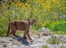 Lös kuguar i Bolivia arkivbilder