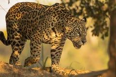 Lös kvinnlig Jaguar som går i skuggorna Fotografering för Bildbyråer