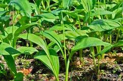 Lös lök (ramson) (Alliumochotense) 1 Royaltyfria Foton