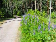 Lös lupinLupinuspolyphyllus vid en touristic bana i skog i Finland royaltyfri fotografi