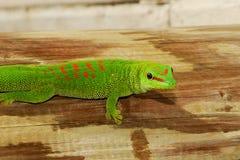 Lös Madagascar jätte- daggecko Royaltyfri Bild