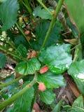 Lös mullbärsträd, blad och frukter Arkivfoto