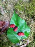 Lös mullbärsträd, blad och frukter Royaltyfria Foton