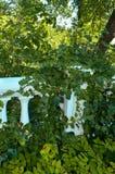Lös murgröna på väggen Royaltyfria Foton