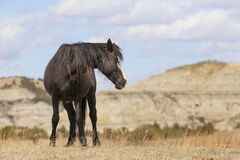 Lös mustang på kant i North Dakota Royaltyfria Bilder