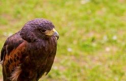 Lös närbild för fågelörnprofil på en grön fältbakgrund Royaltyfri Fotografi
