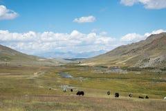 Lös natur av Altai Tjurar av yaks betar på en äng bland arkivfoto