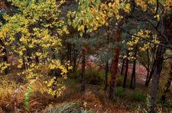 Lös natur för höst Träd i gula sidor Royaltyfria Foton