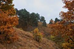 Lös natur för höst Träd i gula sidor Royaltyfri Bild