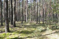 Lös natur i sommar Pinjeskog arkivbild