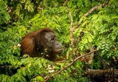 Lös orangutangkvinnlig som äter röda bär i Forest Of Borneo Malaysia Arkivfoton