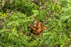 Lös orangutangkvinnlig som äter röda bär i Forest Of Borneo Malaysia Royaltyfri Bild