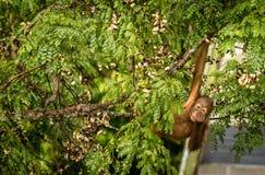 Lös orangutangkvinnlig som äter röda bär i Forest Of Borneo Malaysia Royaltyfri Foto