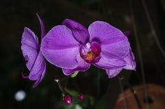 Lös orchird Royaltyfri Fotografi