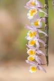 Lös orkidé Arkivbild