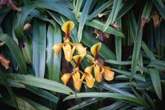 Lös orkidé för Lady's häftklammermatare- eller paphiopedilumvillosum i Thaila Arkivbild