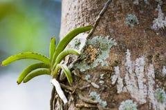 Lös orkidé på träd Fotografering för Bildbyråer